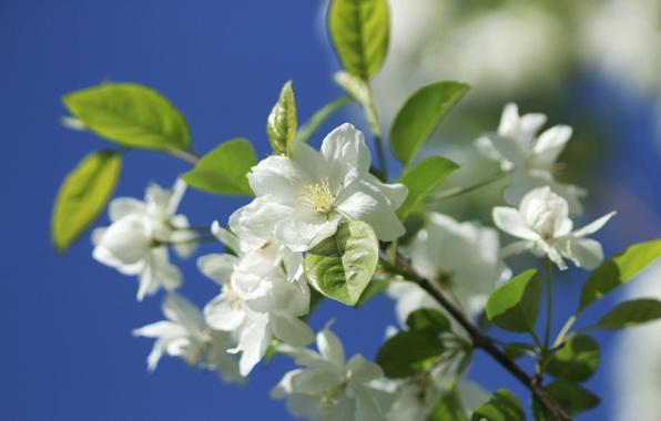 Картинка макро, природа, ветка, весна, яблоня, цветение, цветки, боке