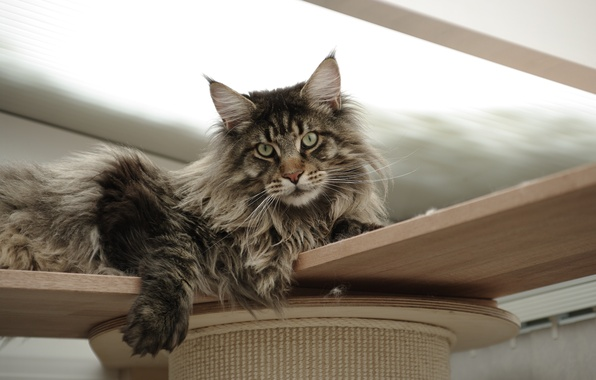 Картинка кошка, кот, фон, widescreen, обои, wallpaper, широкоформатные, cat, background, полноэкранные, HD wallpapers, широкоэкранные, fullscreen, Maine …