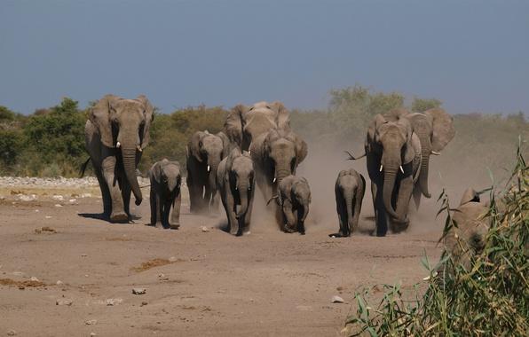 Картинка тропа, пыль, семья, слоны, стадо