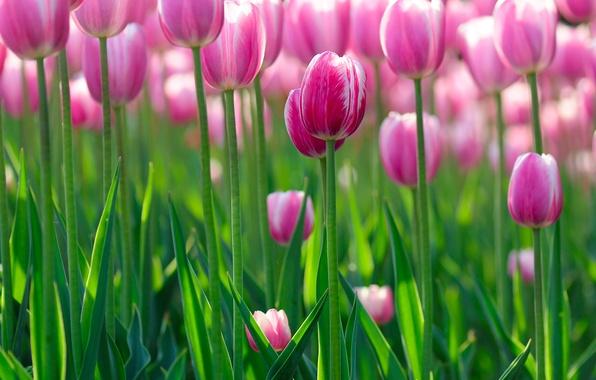 Картинка зелень, цветок, лето, свет, цветы, свежесть, красота, позитив, весна, утро, лепестки, тюльпаны, цветки, широкоформатные, боке, …