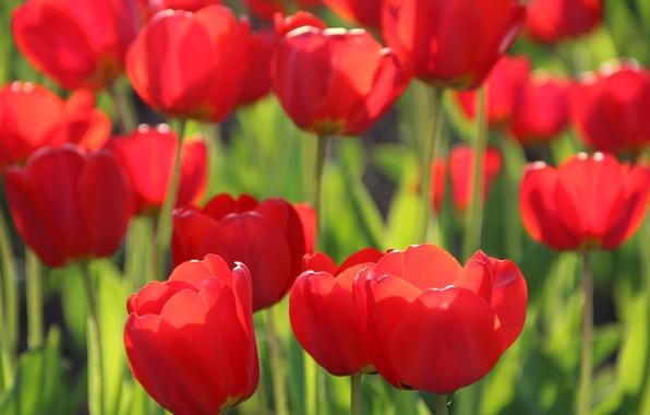 Картинка цветы, тюльпан, весна