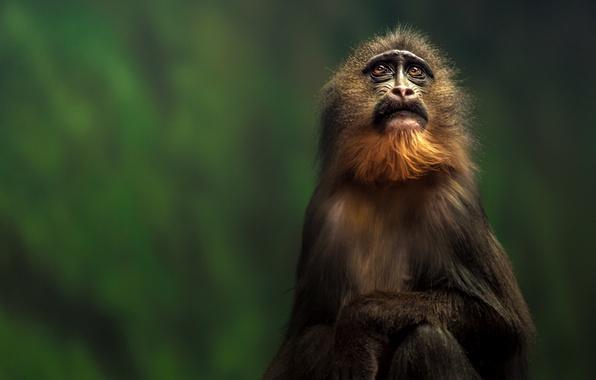 Картинка животные, взгляд, шерсть, обезьяна, примат