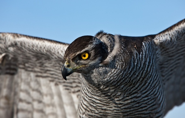 Картинка глаза, птица, перья, сокол, ястреб