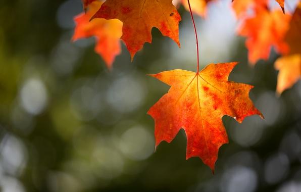 Фото обои листва, осень, ветка, макро