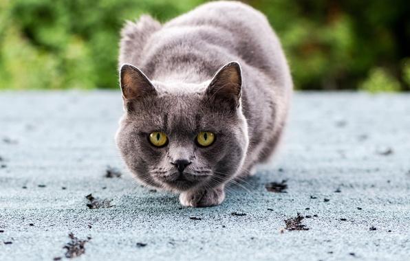 Картинка кошка, глаза, кот, взгляд, серый, зеленые, сидит