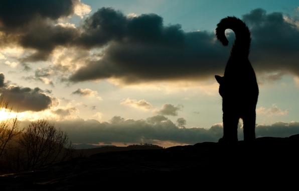 Картинка небо, кот, животное, силуэт, хвост