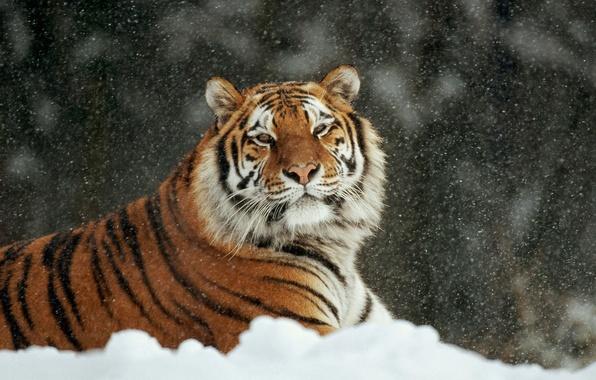 Картинка зима, кошка, снег, тигр, лежит, аррр