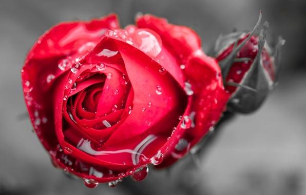 Картинка цветок, вода, капли, макро, цветы, роса, фон, widescreen, обои, роза, бутон, wallpaper, красная роза, flower, …