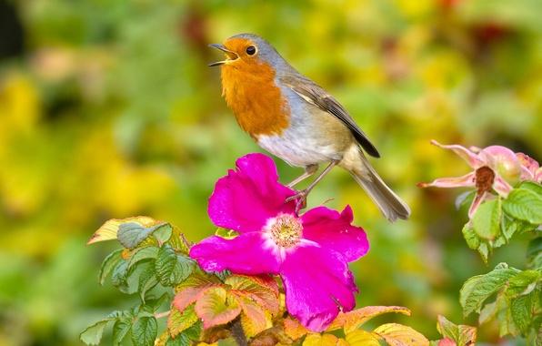 Картинка цветок, птица, шиповник, малиновка, зарянка