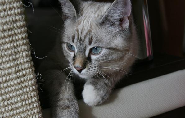 Картинка кошка, глаза, взгляд, кошки, уют, дом, фон, животное, обои