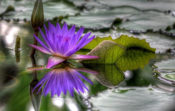Фото обои вода, Цветок, распустился, hdr