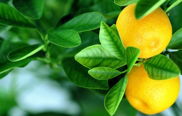 Картинка апельсины, leaves, fruits, oranges