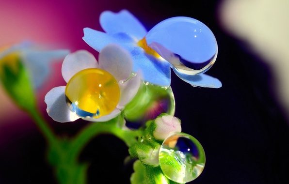 Картинка капли, макро, цветы, роса