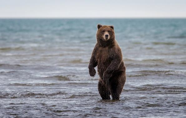 Картинка медведь, Аляска, Alaska, стойка, гризли, Lake Clark National Park, озеро Кларк