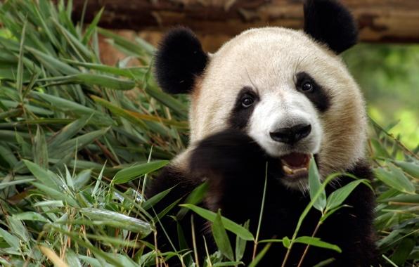 Картинка трава, животное, медведь, панда