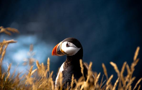 Картинка птица, размытость, атлантический тупик, Fratercula arctica, Puffin