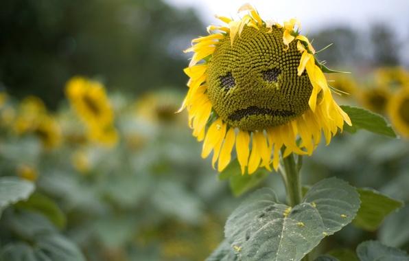Картинка грусть, поле, лето, природа, подсолнух