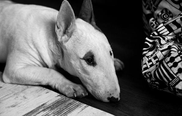 Картинка dog, animal, black and white, floor, creature, lying, b/w, beast, Bull Terrier