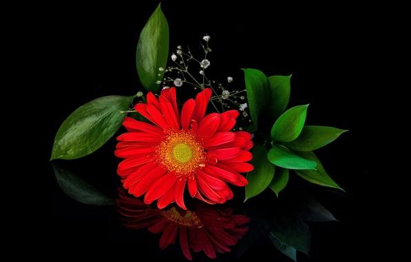 Картинка цветок, лепестки, цветение, листики, красная гербера