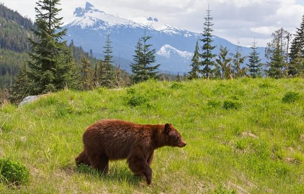 Картинка лес, горы, природа, медведь, зверь, ёлки