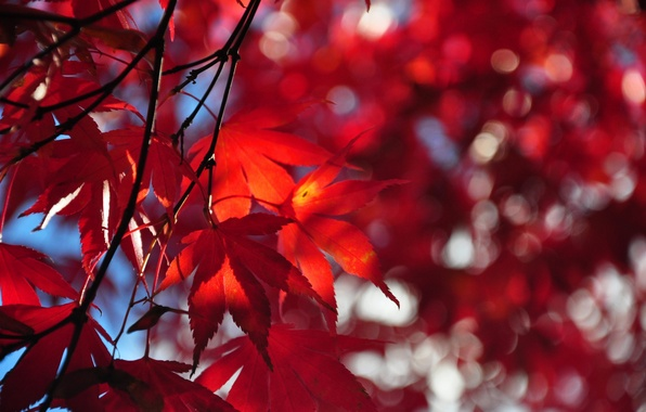 Картинка осень, небо, листья, дерево, ветка, багрянец