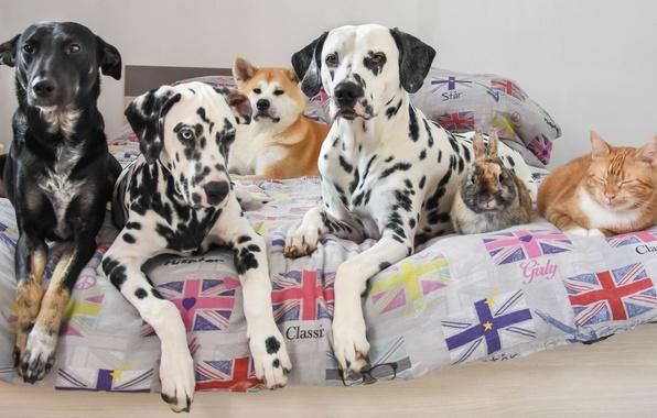 Картинка кошка, собаки, кот, кровать, кролик, друзья, дворняга, акита-ину, долматинцы