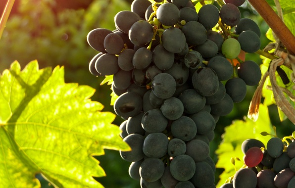 Картинка лето, виноград, гроздь, гроздья, grapes, bunch, свежий