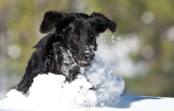Картинка зима, снег, собака, бег