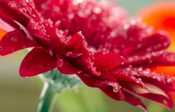 Картинка цветок, капли, макро, красный, фото, red, flower, nature, macro, Гербера, raindrops, Gerbera
