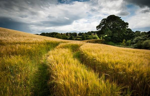 Картинка пшеница, поле, лето, небо, облака, природа, след