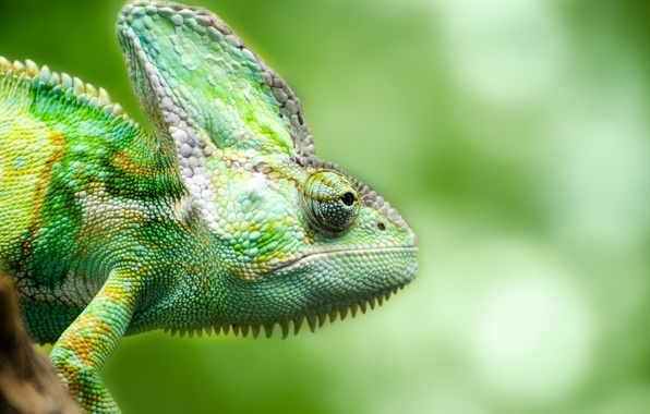 Картинка green, chameleon, reptile