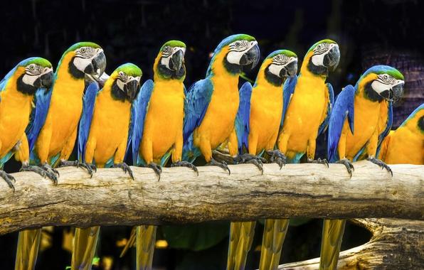 Картинка птицы, яркий, попугай, ара