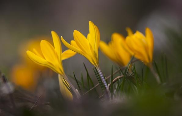 Картинка трава, макро, цветы, фокус, весна, желтые, лепестки, размытость, Крокусы