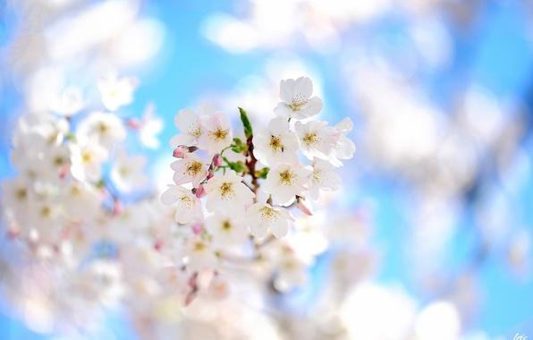 Картинка цветы, дерево, фокус, ветка, весна, цветение, фруктовое