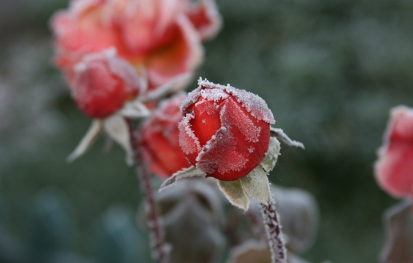 Картинка холод, иней, макро, цветы, фон, обои, розы, мороз, бутоны