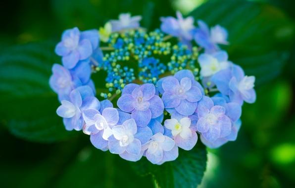 Картинка макро, цветки, гортензия, соцветие