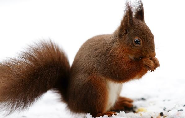 Картинка зима, снег, природа, лапки, белка, рыжая, белочка