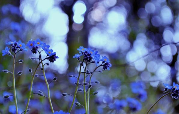 Картинка трава, макро, свет, цветы, природа, блики, цвет, растения, размытость, blue, незабудки