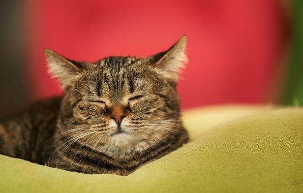 Картинка кошка, кот, дом, сон, мордочка, спит, одеяло