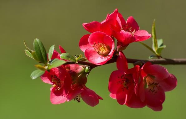Картинка цветы, природа, ветка, весна, бутоны, цветение, айва