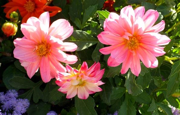 Картинка фото, Цветы, Бутон, Розовый, Георгины