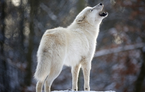 Картинка белый, волк, хищник, вой, Wolf