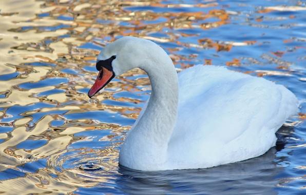 Картинка вода, птица, лебедь