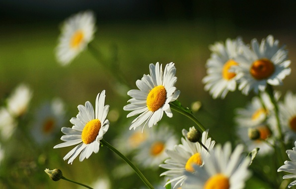 Картинка белый, цветок, цветы, желтый, природа, зеленый, фон, widescreen, обои, ромашки, ромашка, wallpaper, цветочки, широкоформатные, flowers, …