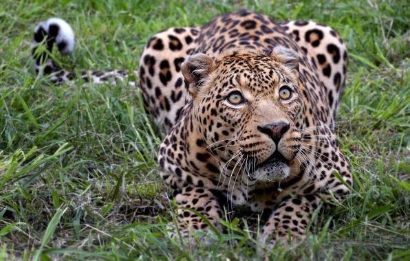 Картинка леопард, африка, киса