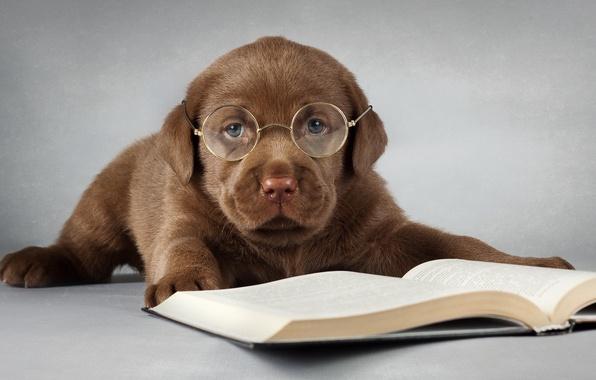 Картинка друг, собака, очки, книга, Лабрадор