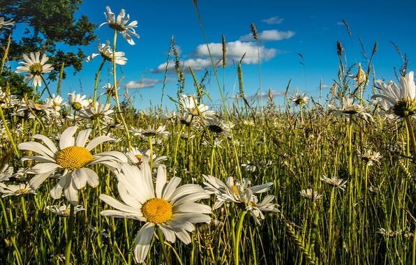 Картинка лето, цветы, ромашки, луг