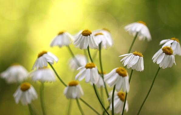 Картинка цветы, фон, ромашки, размытость, белые