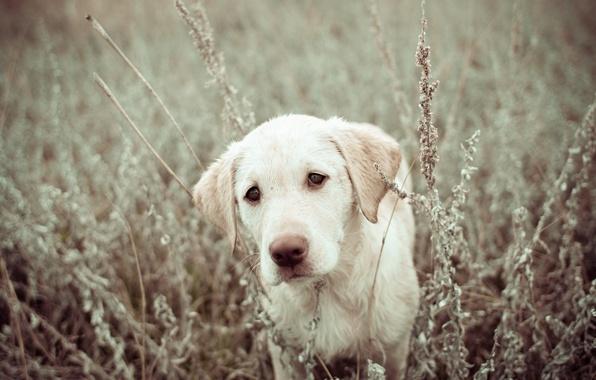 Картинка поле, природа, собака, щенок