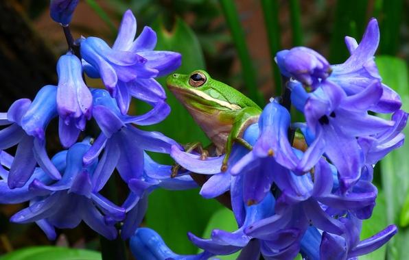Картинка макро, цветы, лягушка, гиацинты, квакша, древесная лягушка, пастушья квакша